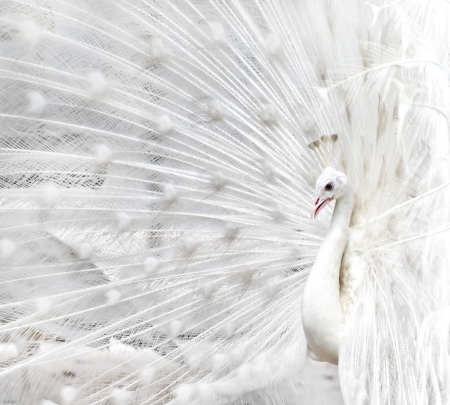 animal mating: Close-up of beautiful white peacock with feathers out