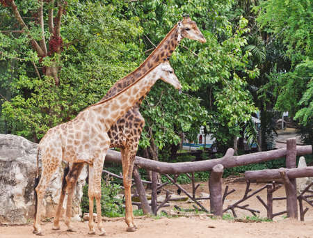 necking: Portrait of two giraffes in nature