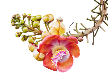 Closeup of Cannonball tree or Couroupita guianensis isolated on white . photo