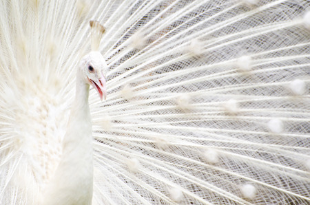 Close-up of beautiful white peacock with feathers out photo
