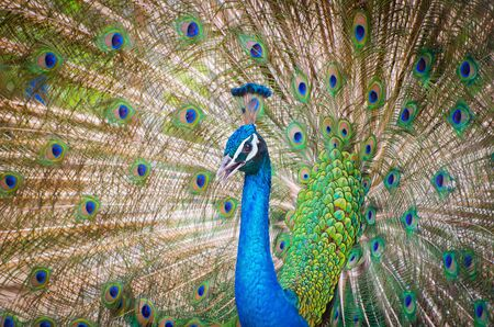 Portrait of beautiful peacock spread tail-feathers in Thailand photo