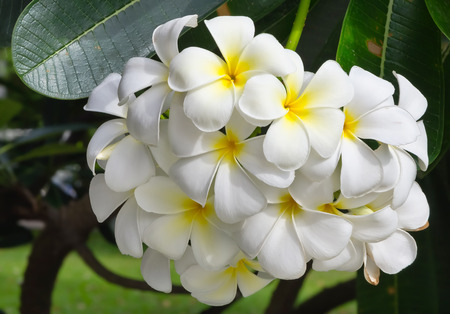 Beautiful white Plumeria (pagoda tree or temple tree) flower photo