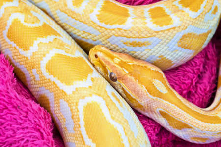 Close up of Golden yellow Python snake Stock Photo