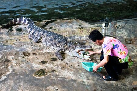 NAKHON PATHOM, THAILAND - February    5 : Crocodile show at Samphran Crocodile Farm , it is one of the most impressive crocodile farm in the world at Nakhon Pathom , Thailand on February 5, 2019