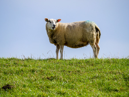 Woolly sheep grazes on a green dike on the Dutch coast and thereby contributes to the maintenance. Stockfoto - 112009377