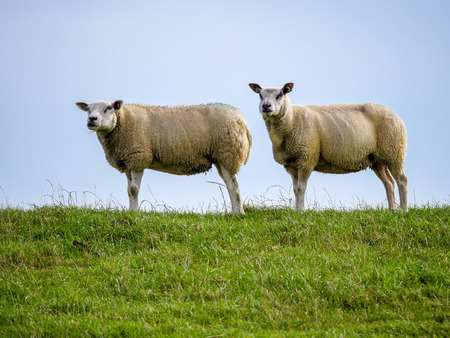 Flock of sheep graze on a green dike on the Dutch coast and thereby contribute to maintenance. Stockfoto - 112009391