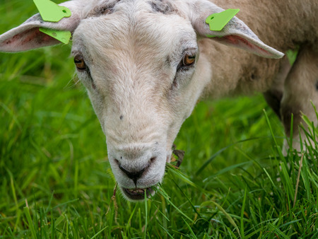 Dutch sheep with a woolly coat and ear tags grazes in the green meadow and clearly enjoys the fresh grass. Stock Photo