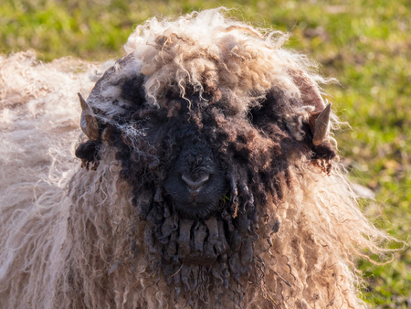Long hairy and dirty sheep grazes in a Dutch meadow in the winter, with a bad hair day.