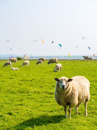 Sheep graze in a green meadow on a dike on the Dutch coast with colorful kite surfers in the background.