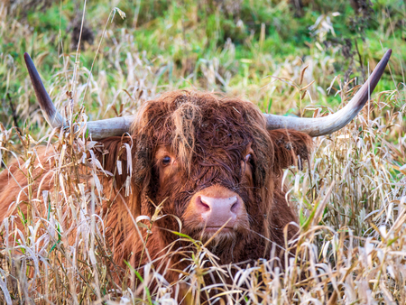 Brown Scottish Highlander cow with horns grazes in a Dutch nature reserve.