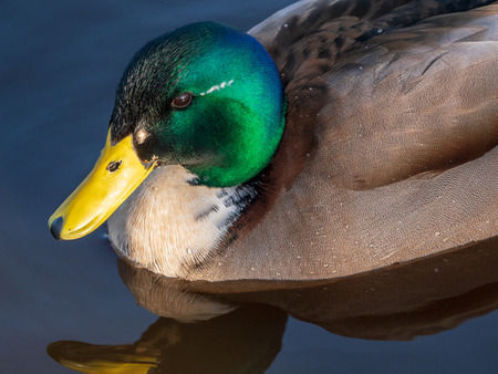 A Mallard (Anas platyrhynchos) with water droplets on his body swims in the water in search of food, with a nice reflection. It is a male duck.