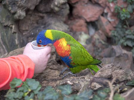 A Rainbow lorikeet (Trichoglossus moluccanus) is fed in an aviary by a visitor holding a cup.