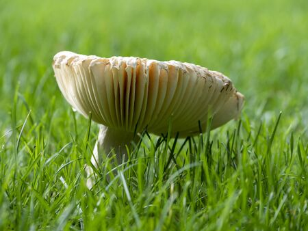 Large mushroom in a clear green grass in the fall on an autumnal day.
