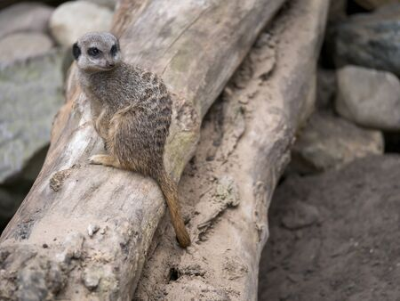 A meerkat (Suricata suricatta) sits on a tree trunk in a rocky environment and looks curiously around itself. Stock fotó