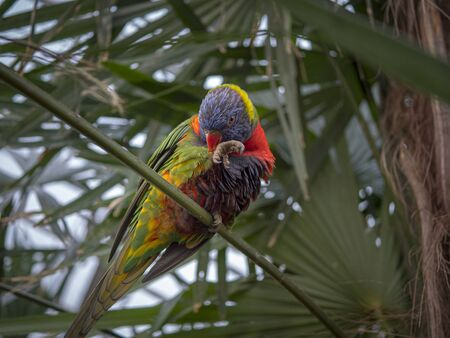 A beautifully colored Rainbow lorikeet (Trichoglossus moluccanus) sits in a park and is cleaning itself. Stock fotó