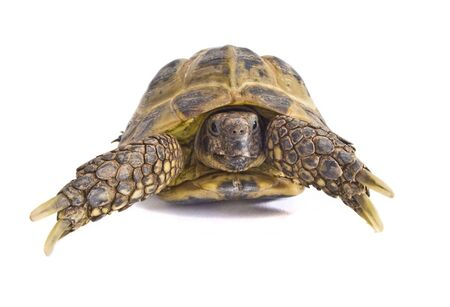 pet photography: A photography of my pet Horsefield tortoise in my lightbox. Stock Photo