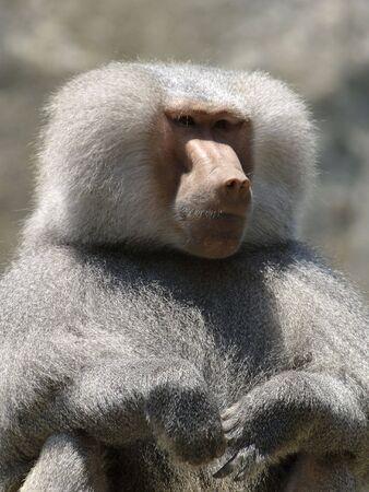 Baboon at a zoo