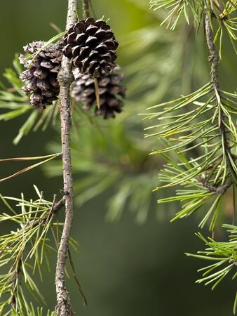 Some pine cones hanging from a pine tree.