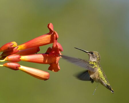 A very rare photo of a humming bird