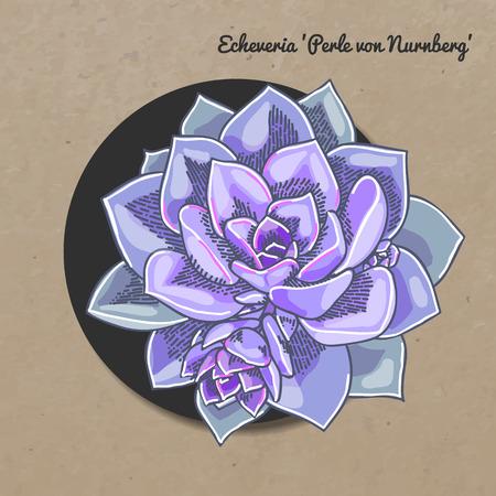 The illustration of beautiful succulent echeveria perle von nurnberg. Vector floral design. Botanical card.
