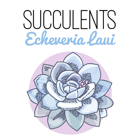 The illustration of beautiful succulent echeveria laui. Vector floral design. Botanical card. Çizim