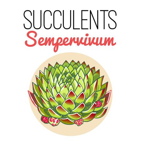 The illustration of beautiful succulent sempervivum. Vector floral design. Botanical card.