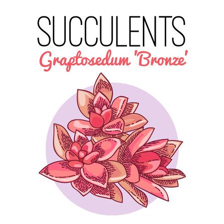 The illustration of beautiful succulent graptosedum bronze. Vector floral design. Botanical card.