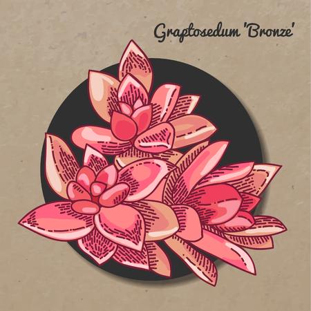 The illustration of beautiful succulent graptosedum Çizim