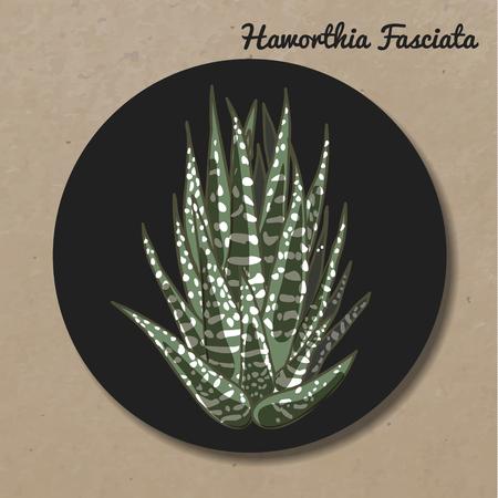 The illustration of beautiful succulent hawortia fasciata. Vector floral design. Botanical card.