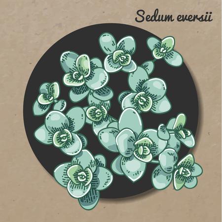 The illustration of beautiful succulent sedum eversii. Vector floral design. Botanical card.