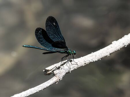 humid: Emerald dragonfly macro closeup
