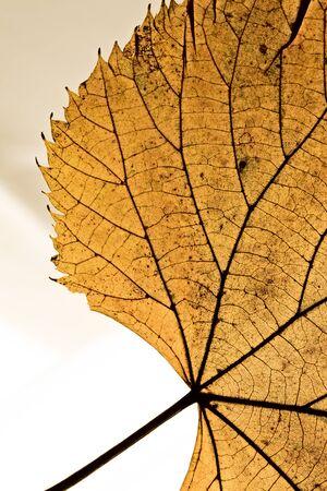 Leaf macro closeup
