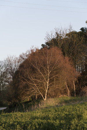 reed tree in the countryside