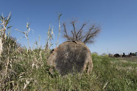 big tree trunk cut