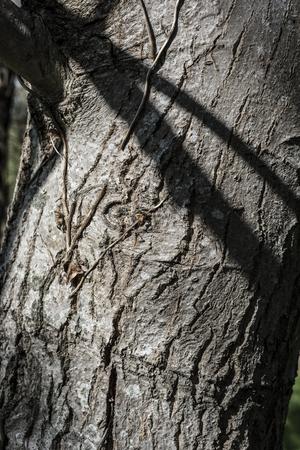 nut tree bark detail Stock fotó