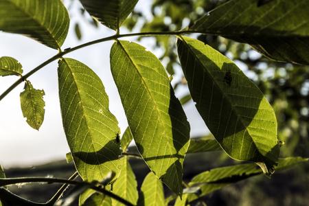 nut tree leaves Stock fotó