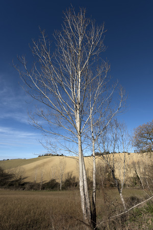 poplar tree Stock fotó