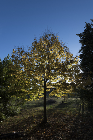 yellow tree in the sunlight Stock fotó