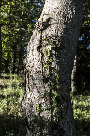nut tree trunk