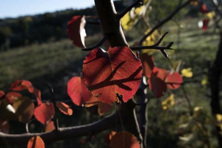 red tree leaves
