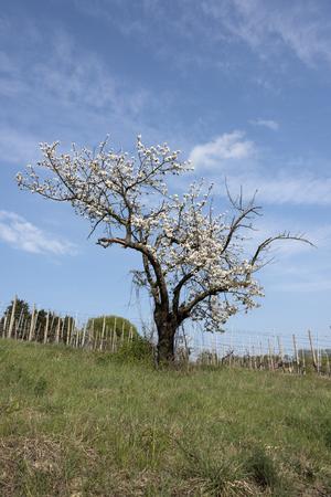 flowered cherry tree