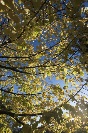 tree branches full of yellow leaves