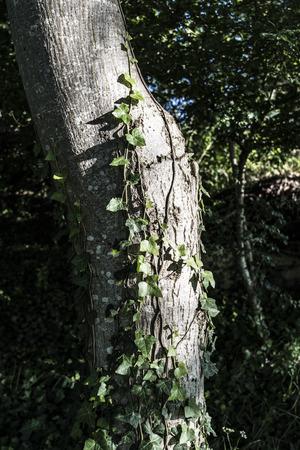 nut tree trunk detail