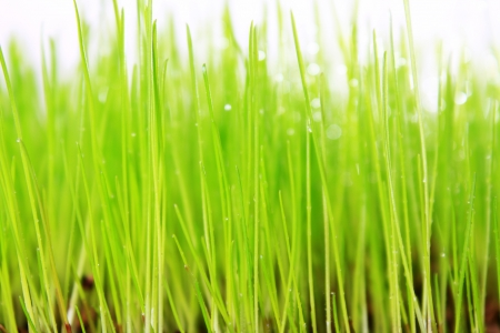 Fresh green grass  photo