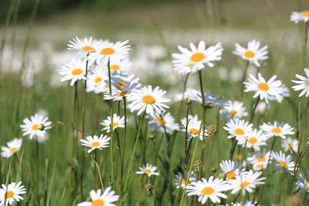 beautiful daisy flowers on a green meadow Standard-Bild