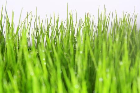 green grass with white background Standard-Bild