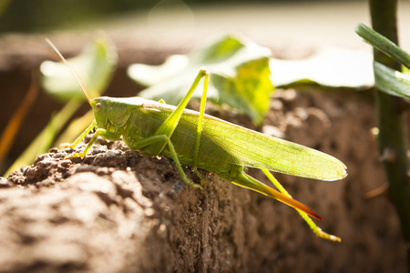 Grasshopper sitting on a close-up of a stone wall photo