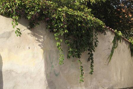 ivy wall Banque d'images
