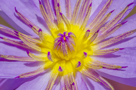 gossip purple lotus close up