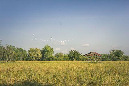 Flock of birds rice field Reklamní fotografie